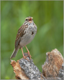 Savannah Sparrow 1