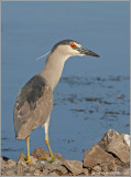 Black-crowned Night Heron 33