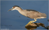 Black-crowned Night Heron 34