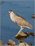 Black-crowned Night Heron 35