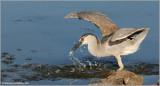 Black-crowned Night Heron 36