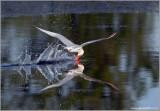 Caspian Tern 8
