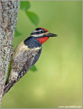 Yellow-bellied Sapsucker 5