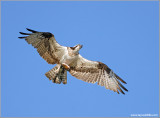 Osprey 42