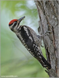 Yellow-bellied Sapsucker 9