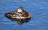 Red-necked Grebe 39