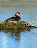 Red-necked Grebe 41