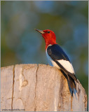Red-headed Woodpecker 1