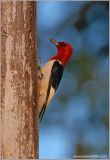 Red-headed Woodpecker 2