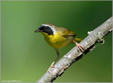 Common Yellowthroat 4