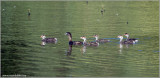 Pied-billed Grebe and family 2