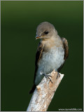 Northern Rough-winged Swallow 7