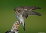 Northern Rough-winged Swallow 12