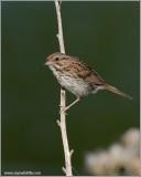 Song Sparrow 7
