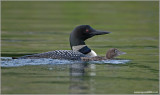 Common Loon 2