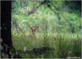 Deer in the weeds 16