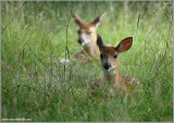 Deer in the weeds 15