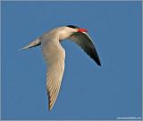 Caspian Tern 12