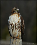 Red-tailed Hawk re-edit 77