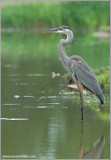 Great Blue Heron 56