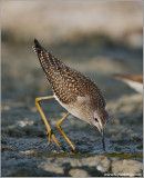 juvenile Lesser Yellowlegs 5