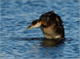 Red-necked Grebe 42