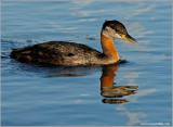 Red-necked Grebe 44