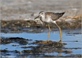 juvenile Lesser Yellowlegs 10