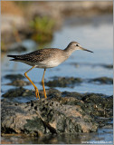 juvenile Lesser Yellowlegs 11