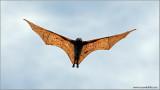 Giant Flying Fox