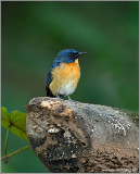Mangrove Blue Flycatcher 1