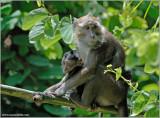 Philippine Macaque