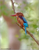 White-throated Kingfisher 7