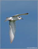 Whiskered Tern 3