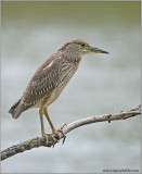 Black Crowned Night Heron 37