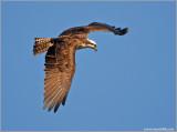 Osprey 43