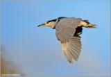 Black Crowned Night Heron in Flight 38