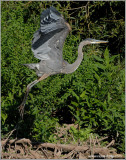 Great Blue Heron 59