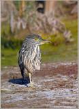 Black Crowned Night Heron 40