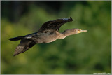 Double-Crested Cormorant 14