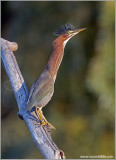 Green Heron 24