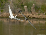 Great Blue chasing an Egret 63