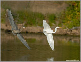 Great Blue chasing an Egret 64