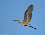 Great Blue Heron 67