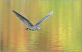 Black Crowned Night Heron 42