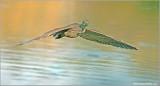 Black Crowned Night Heron 43