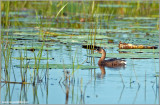 Pied-billed Grebe 3
