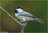 Chickadees and Kinglets