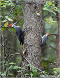Pileated Woodpecker and a Red Bellied WP 8