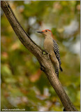 Red-bellied Woodpecker 7
